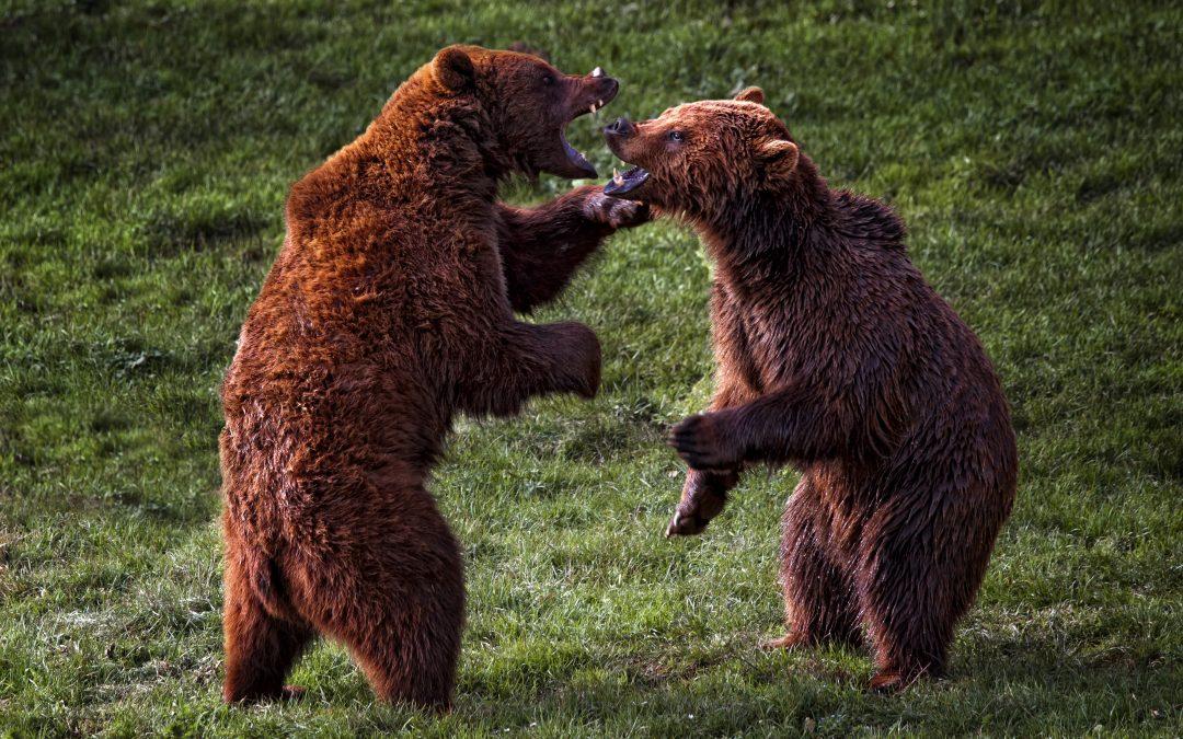 bear-fights
